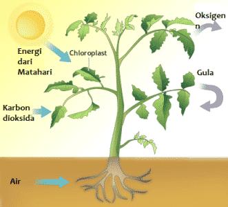 Proses Fotosintesis Pengertian Faktor Yang Mempengaruhi Contoh